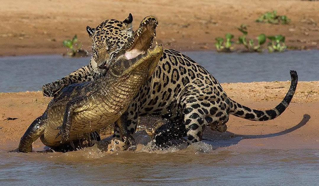 jaguars of the pantanal wildlife photography tours in brazil. Black Bedroom Furniture Sets. Home Design Ideas
