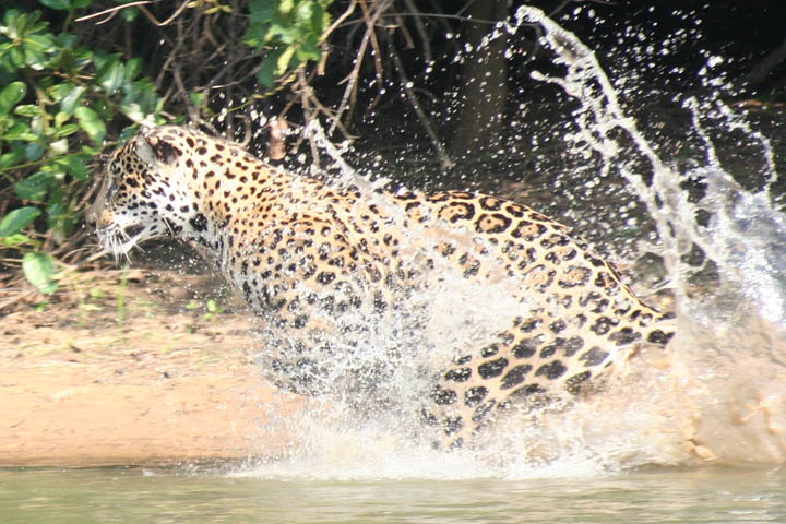 jaguars, pantanal, tours, brazil, photography, wildlife