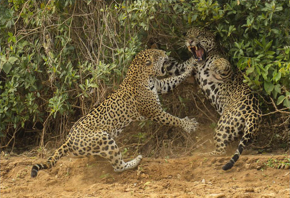 Jaguars, Pantanal, wildlife, photography, tours, Brazil